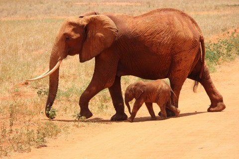 animals-calf-elephants-66898